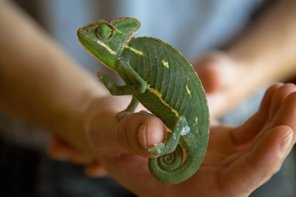 Handling a Veiled Chameleon