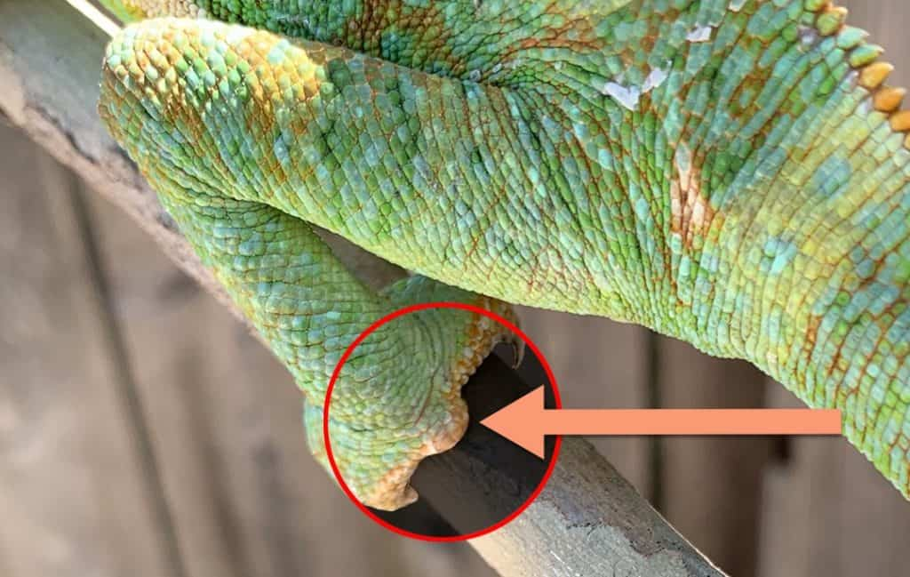 Male Veiled Chameleon Feet