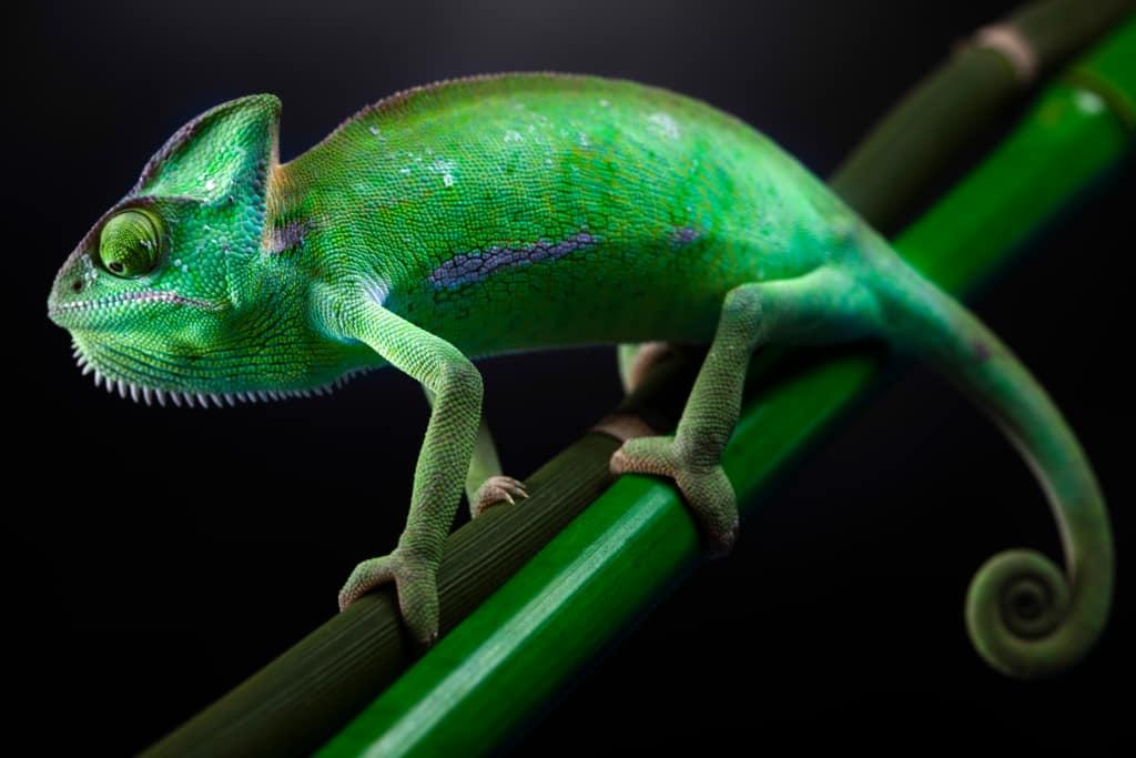 Veiled Chameleon Characteristics