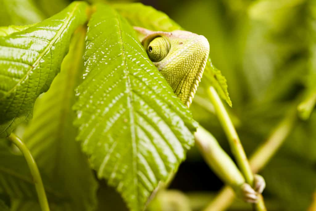 Veiled Chameleon as a Pet
