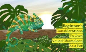 Beginner Considerations to Own Veiled Chameleon as Pet