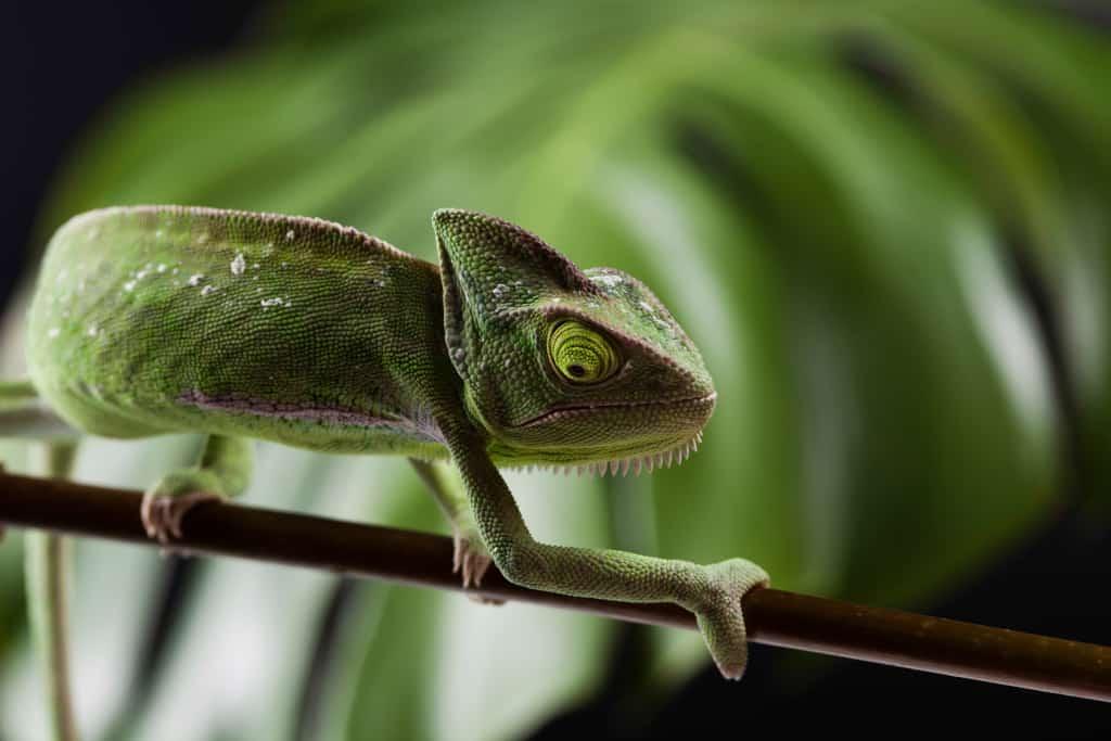 Veiled Chameleon Climbing