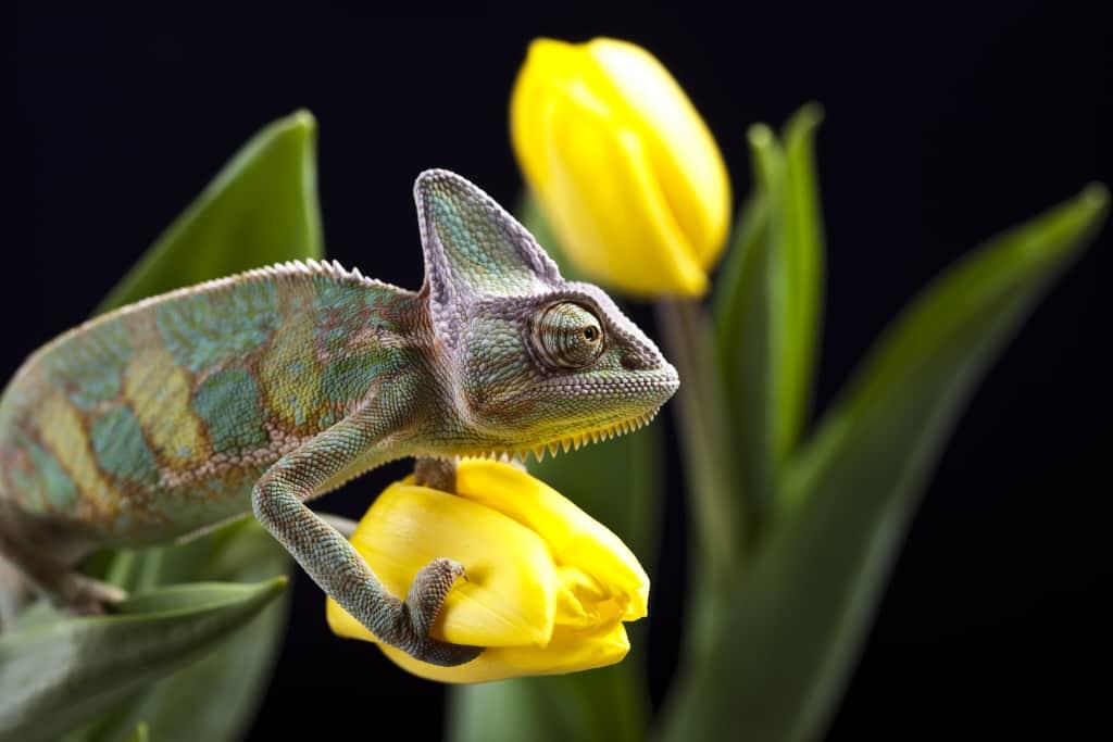 Veiled Chameleon on a Flower